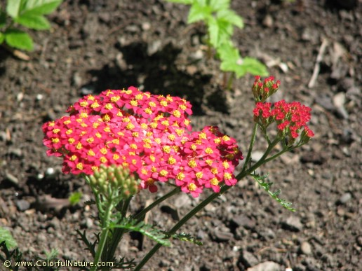 Achillea Millefolium (Red-Yellow)