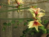 Amaryllis (Hippeastrum) Hybrids (Yellow-Red) (1)
