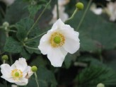 Anemone Hupehensis var. Japonica (White)