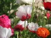 Anemone (Red-White) (2)
