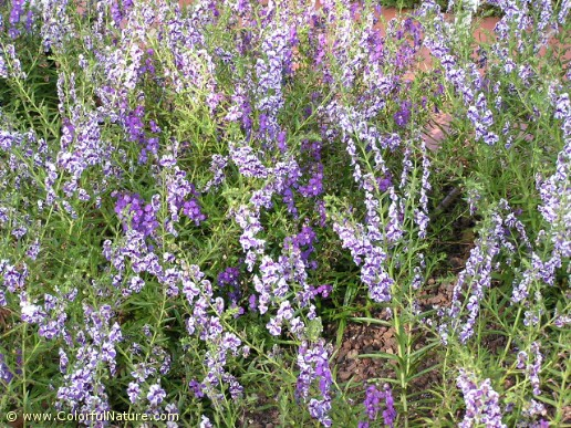 Angelonia Angustifolia (Purple-White)