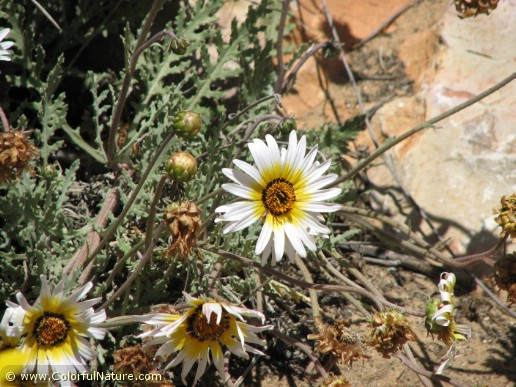Arctotis Hybrida (White-Yellow)