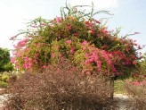 Bougainvillea Spectabilis (Mixed)