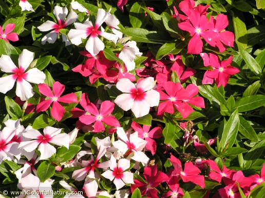 Catharantus Roseus (Mixed)