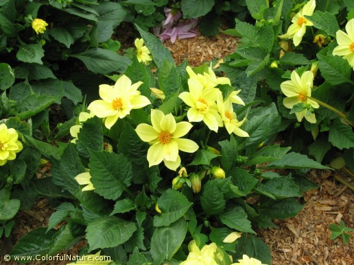 Dahlia Pinnata (Yellow)