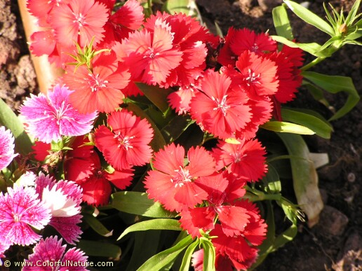 Dianthus Chinensis (Red)