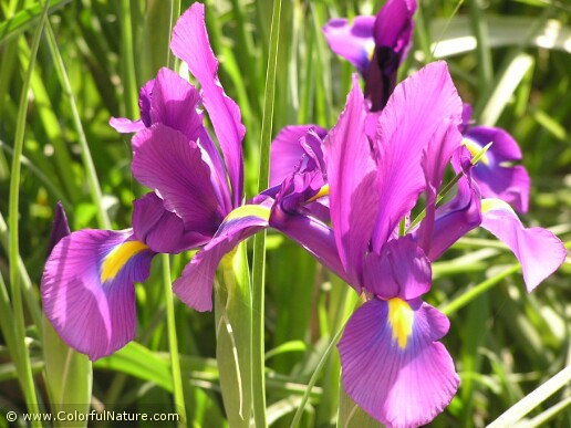 Dutch Iris (Purple)
