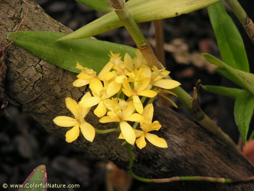 Epidendrum Pretty Princess Tropical Yellow