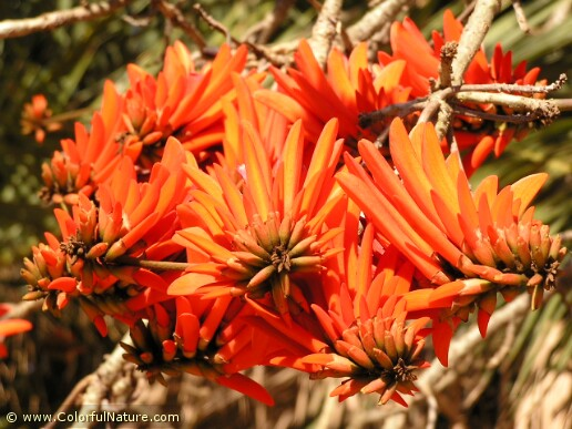 Erythrina Coralodendrum