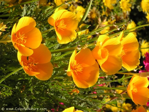Eschscholzia Californica (Orange) (1)