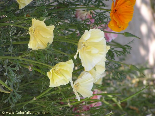 Eschscholzia Californica (Yellow)