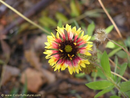 Gaillardia (Yellow-Red)