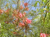 Grevillea Johnsonii (1)
