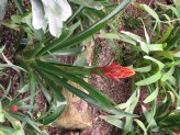 Guzmania Lingulata (Red-Yellow) (1)