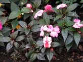 Impatiens New Guinea (Pink-Red)