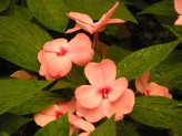 Impatiens New Guinea (Pink) (2)