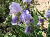 Iris Germanica (Purple) (2)