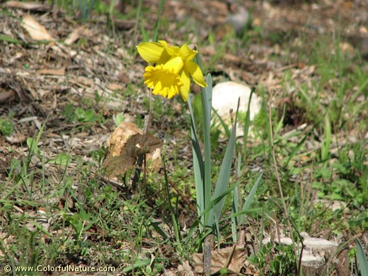 Narcissus Pseudonarcissus (Yellow)