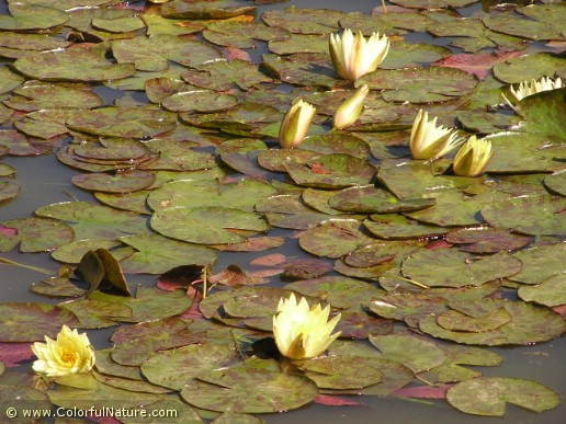 Nymphaea (Yellow) (1)