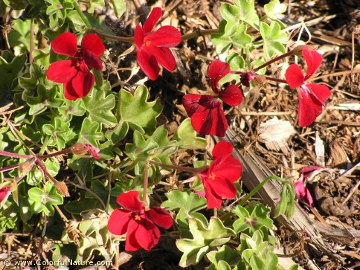 Pelargonium Villa (Red) (2)
