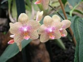 Phalaenopsis Flutterby (Yellow-Pink)