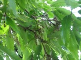 Quercus Castaneifolia (Chestnut-Leaved Oak)