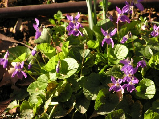 Viola Hederacea (Purple)