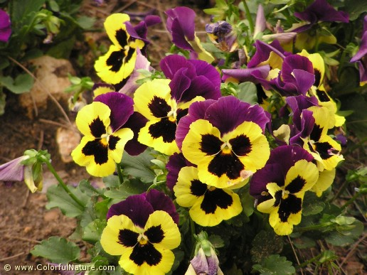 Viola Tricolor (Purple-Yellow-Black) (2)