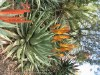 Aloe Ferox (Orange-Red)
