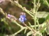Anchusa Strigosa (Blue) (1)
