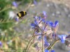 Anchusa Strigosa (Blue) (2)