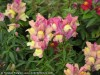 Antirrhinum Majus (Pink-Yellow) (1)