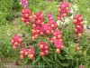 Antirrhinum Majus (Pink-Yellow) (2)
