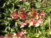Antirrhinum Majus (Pink-Yellow) (3)