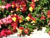 Antirrhinum Majus (Red-Yellow)