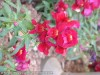 Antirrhinum Majus (Red) (2)