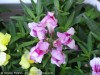 Antirrhinum Majus (White-Purple)