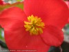 Begonia Semperflorens (Red) (2)