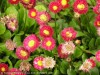 Bellis Perennis (Red)