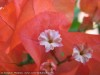 Bougainvillea Spectabilis (Red)