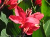 Canna Indica (Red) (2)