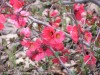 Chaenomeles Japonica (Pink)
