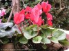 Cyclamen Persicum (Red)