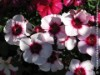 Dianthus Chinensis (Red-White)