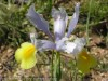 Dutch Iris (White-Yellow) (1)