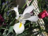 Dutch Iris (White-Yellow) (3)