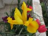 Dutch Iris (Yellow)