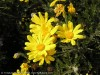 Euryops Chrysanthemoides (Yellow)
