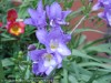 Freesia Hybrida (Blue)