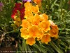 Freesia Hybrida (Orange)